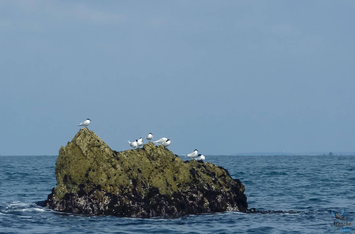 faune des rochers de l'archipele de Molène