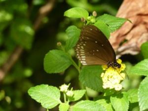 Papillon d'une ferme