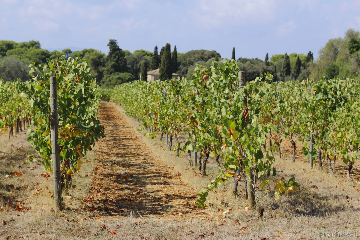 Vignes de l'ile Saint Honorat