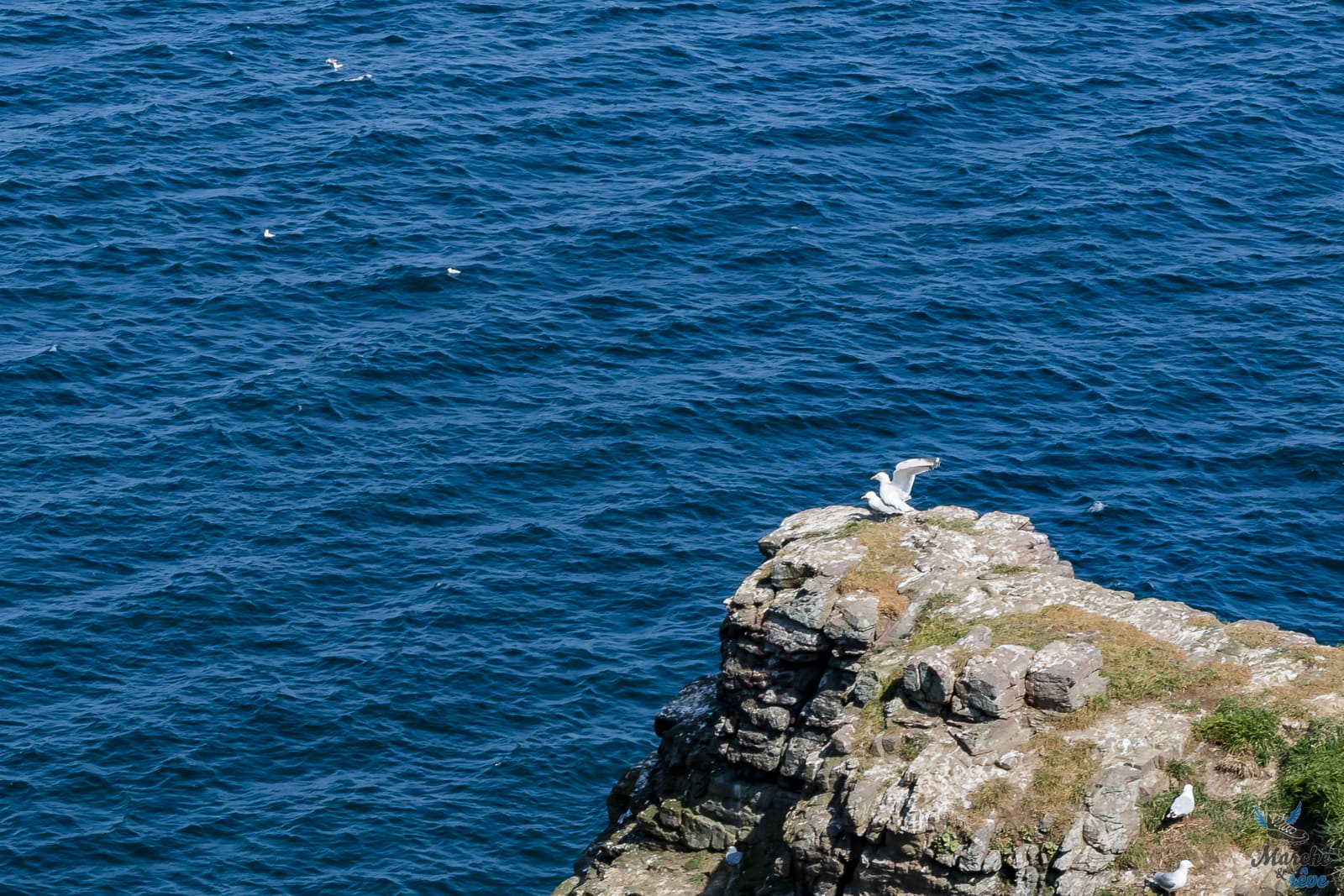 oiseaux au Cap Fréhel