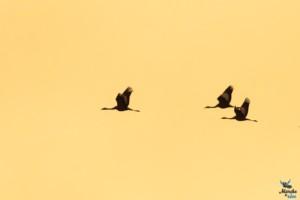 vol de grues cendrées au lac du Der